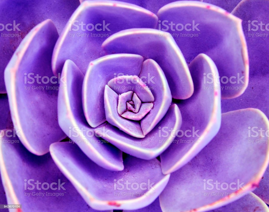 Echeveria succulent plant close up.Abstract floral toned background. stock photo