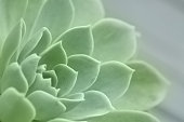 Natural light selective focus photo of a succulent perennial known as Echeveria