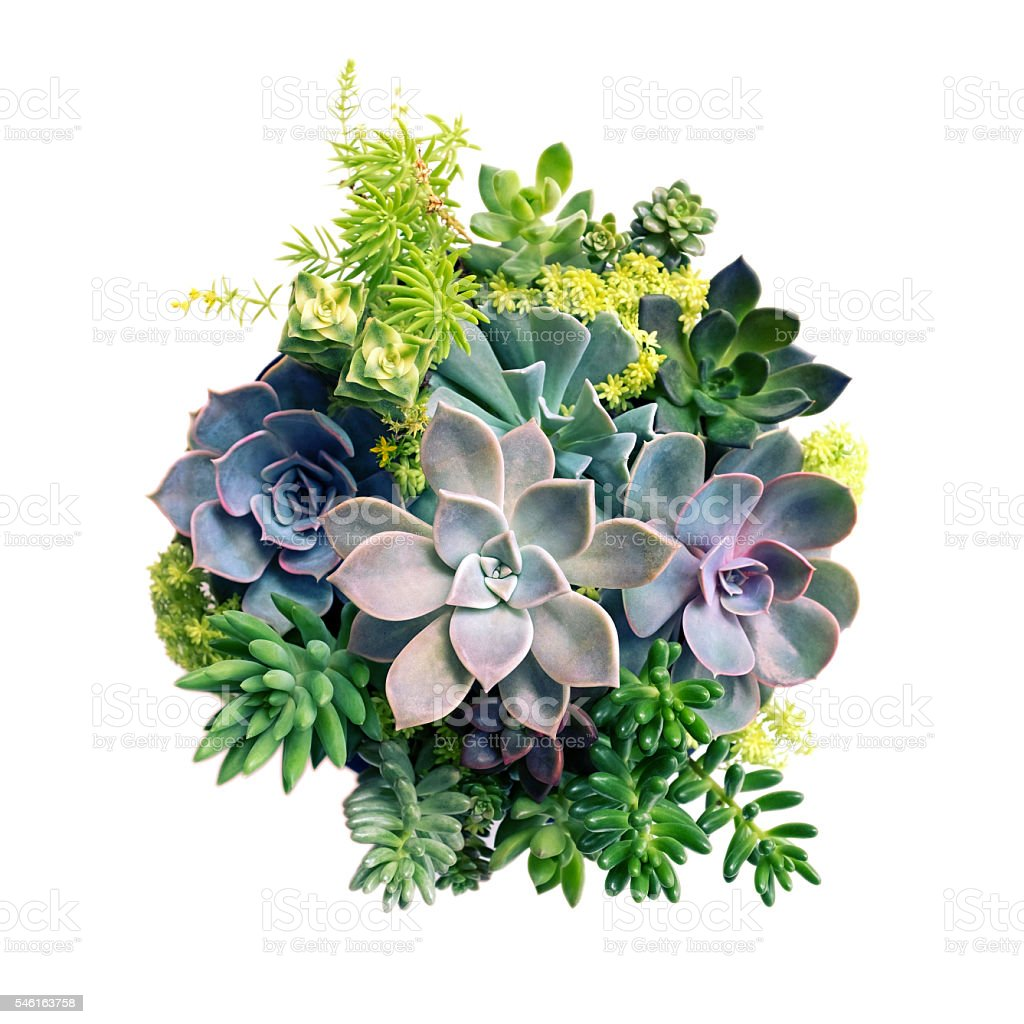 Echeveria Succulent plant set isolated on white background stock photo