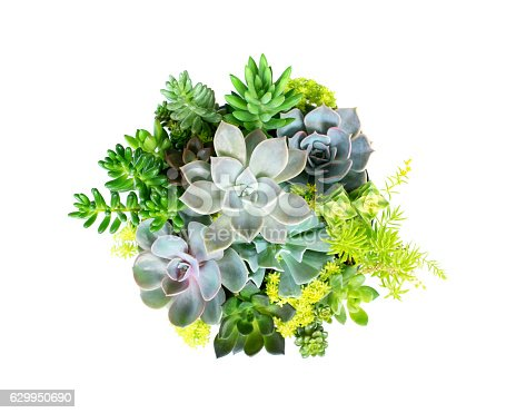 Echeveria Succulent plant set isolated on white background