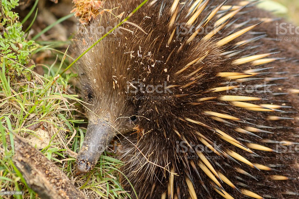 Echidna foraging royalty-free stock photo