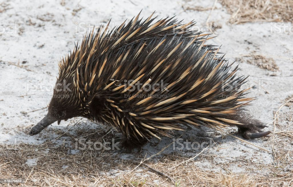 echidna or spiny  anteater stock photo