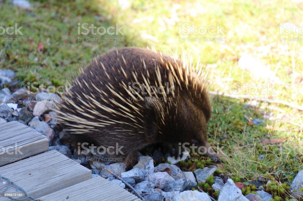 Echidna Tasmania stock photo