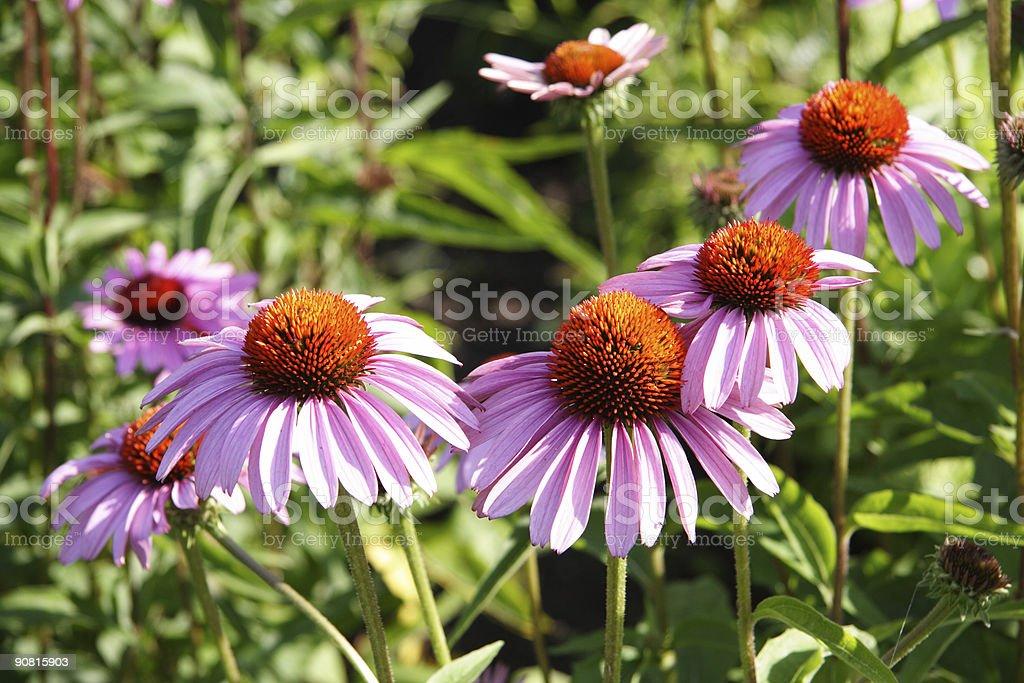 echinacea 3 royalty-free stock photo