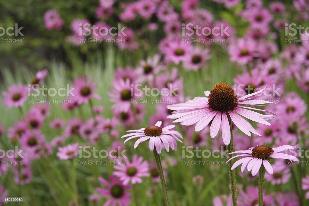 echinacea 4 royalty-free stock photo