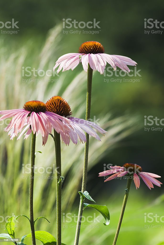 Echinacea bunch royalty-free stock photo