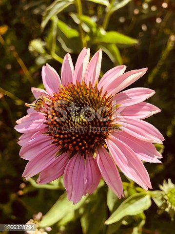 A pink echinacea flower with a grasshopper on it.