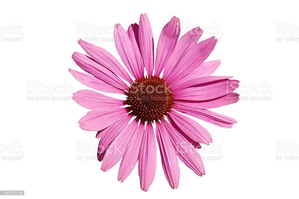 Echinacea  coneflower. royalty-free stock photo