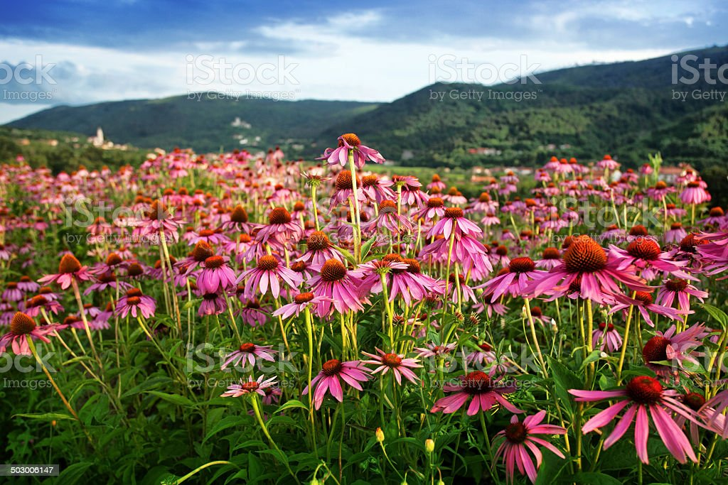 echinacea flower field stock photo