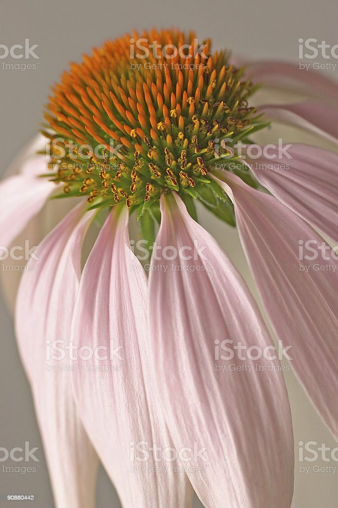 Echinacea flower head against a plain background royalty-free stock photo