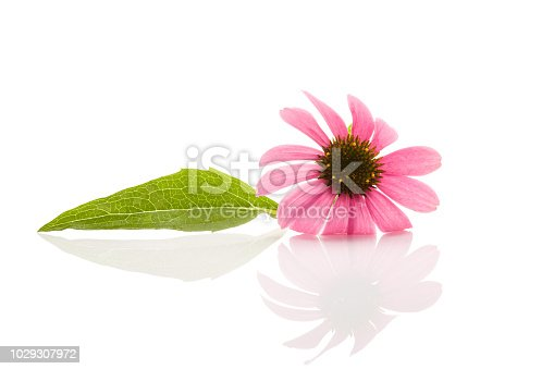Echinacea flower isolated on white background. Medicinal plant.