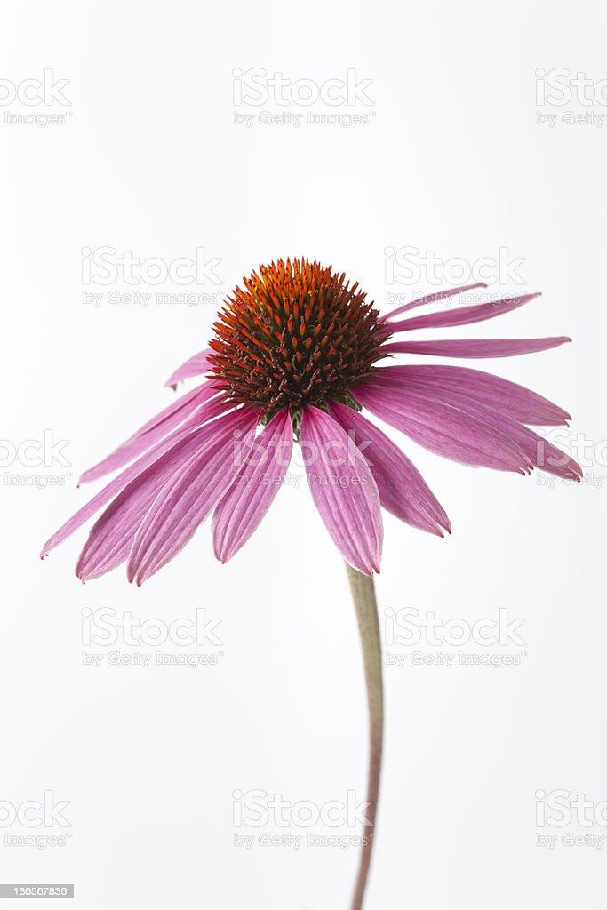 Echinacea flower on white background stock photo