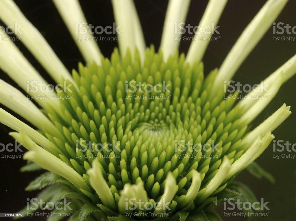 Echinacea flower opening royalty-free stock photo