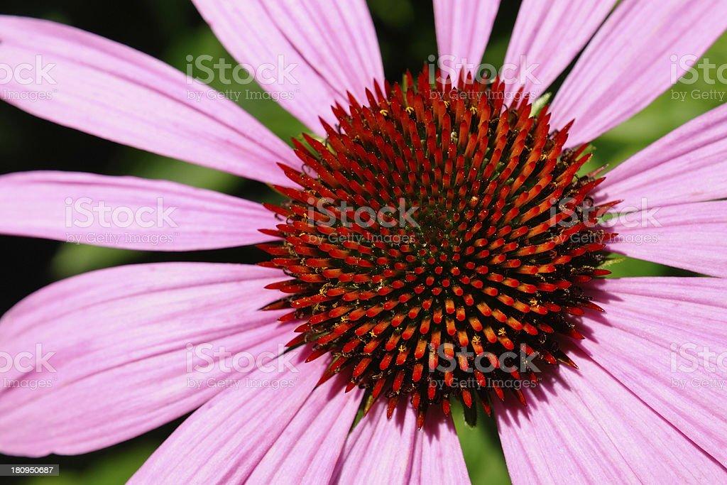 Echinacea flower royalty-free stock photo
