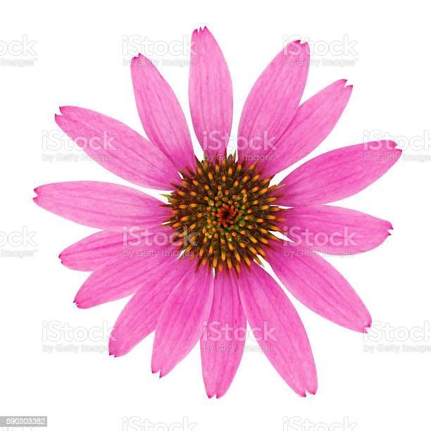 Echinacea flower picture id590303382?b=1&k=6&m=590303382&s=612x612&h=rxnpee0xbviyid0fwcygdq6s6mcb9rvvlzyqidzvnf0=