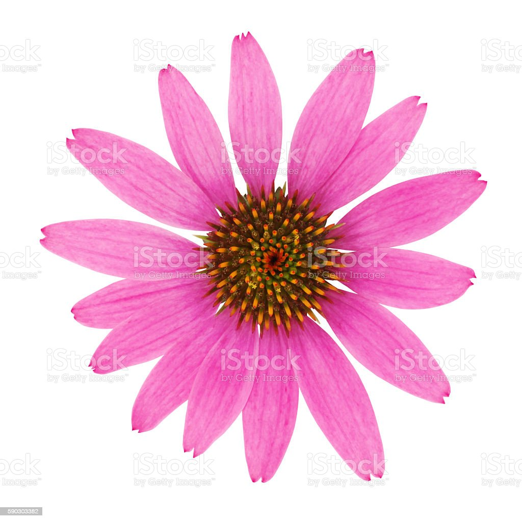 Echinacea Flower (with path) stock photo
