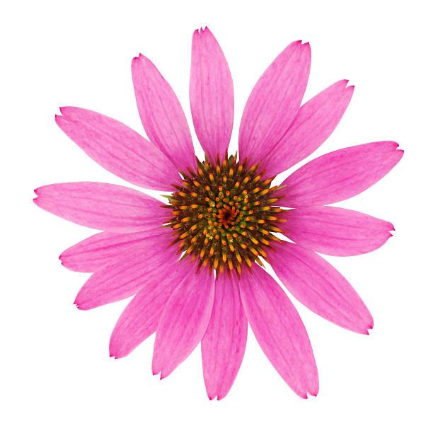 echinacea flower - pręcik część kwiatu zdjęcia i obrazy z banku zdjęć
