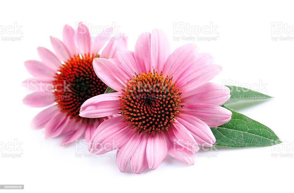 Echinacea flowers close up stock photo