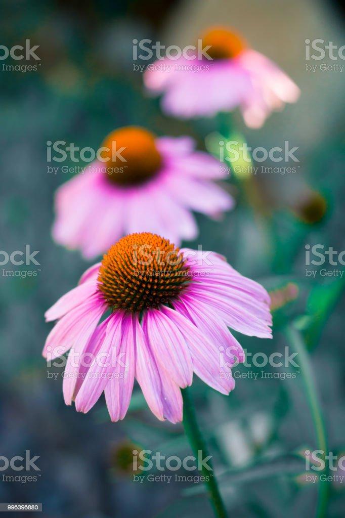 Echinacea-Blumen-Nahaufnahme – Foto