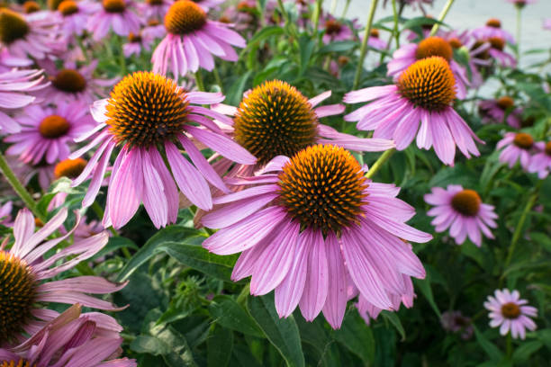 Echinacea flowers in a garden Purple and orange perennial cone flowers Echinacea Purpurea in a botanical garden. perennial stock pictures, royalty-free photos & images