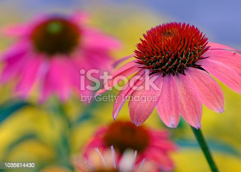 Pastel colored coneflowers in summer garden