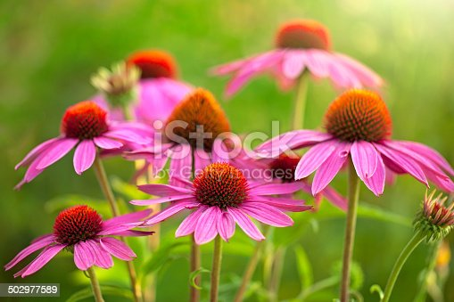 Field of echinacea flowers at sunrise