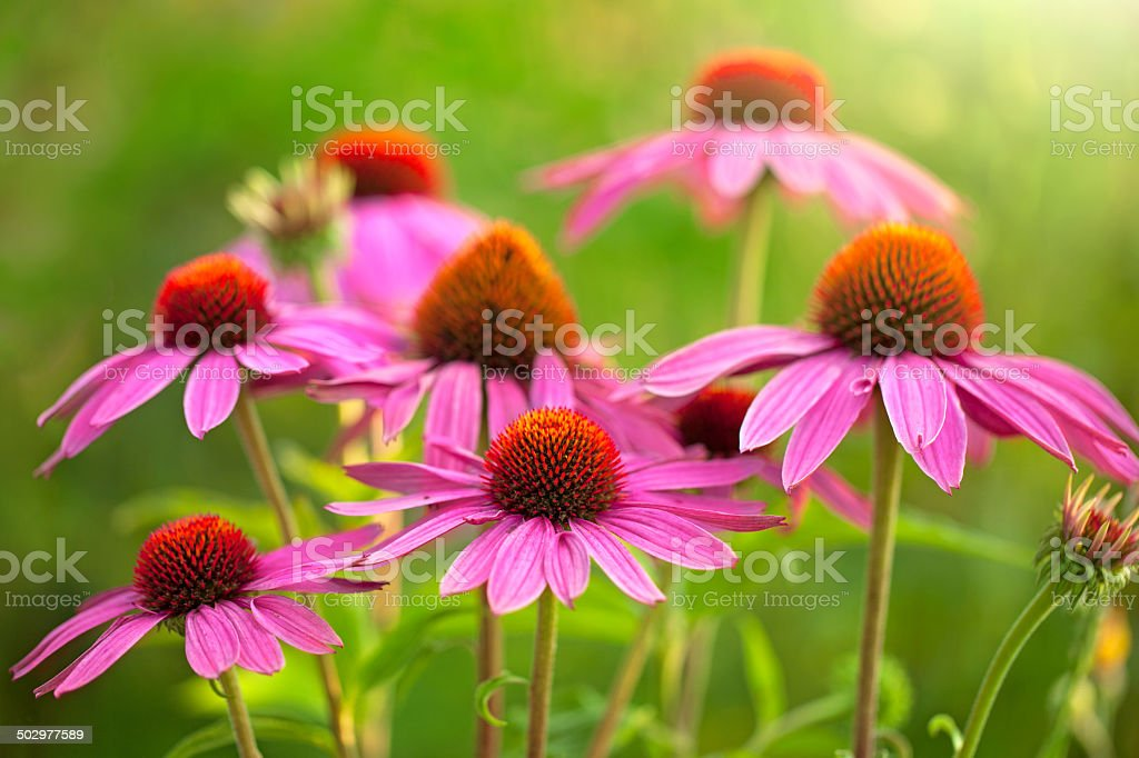 echinacea flowers stock photo