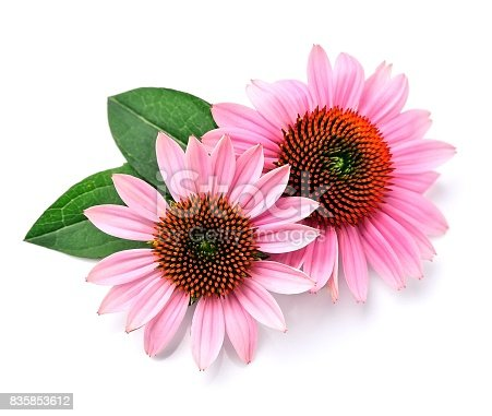 Echinacea flowers close up isolated on white backgrounds. Medicinal plant.