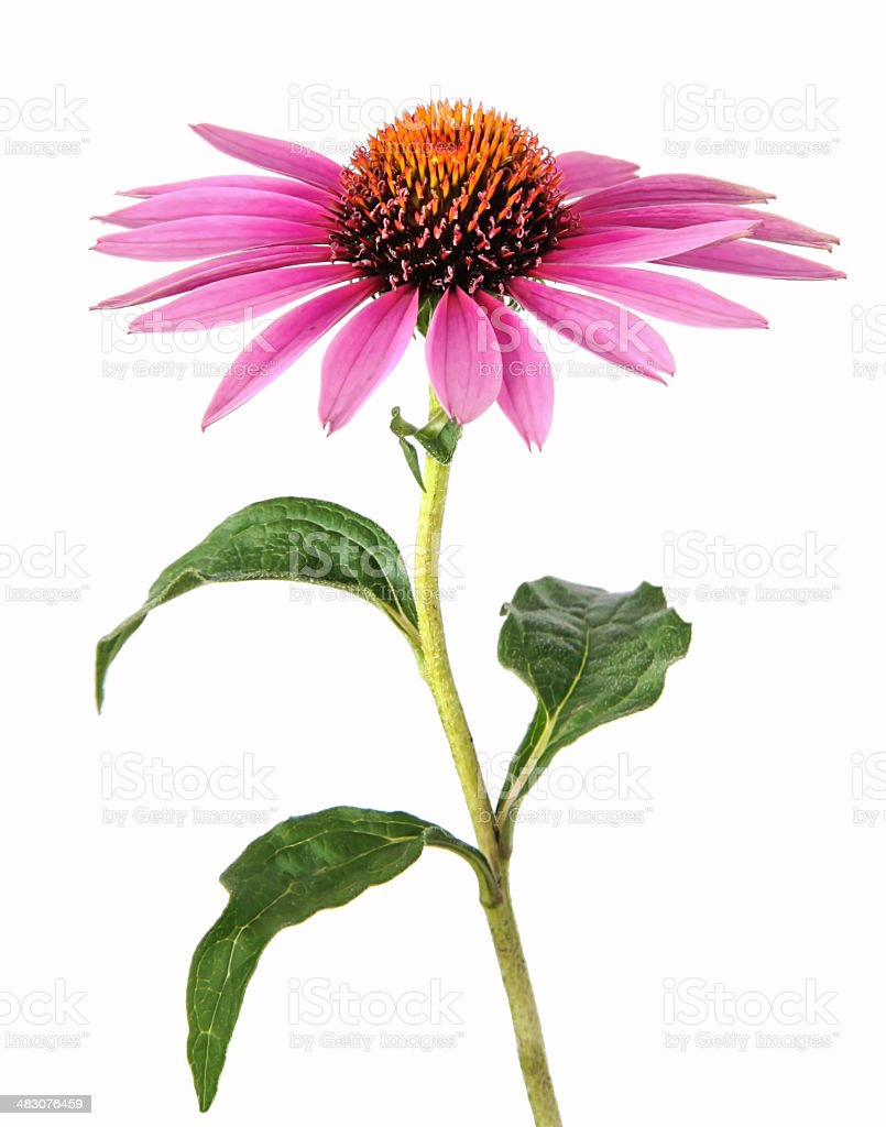 Echinacea for homeopathy stock photo