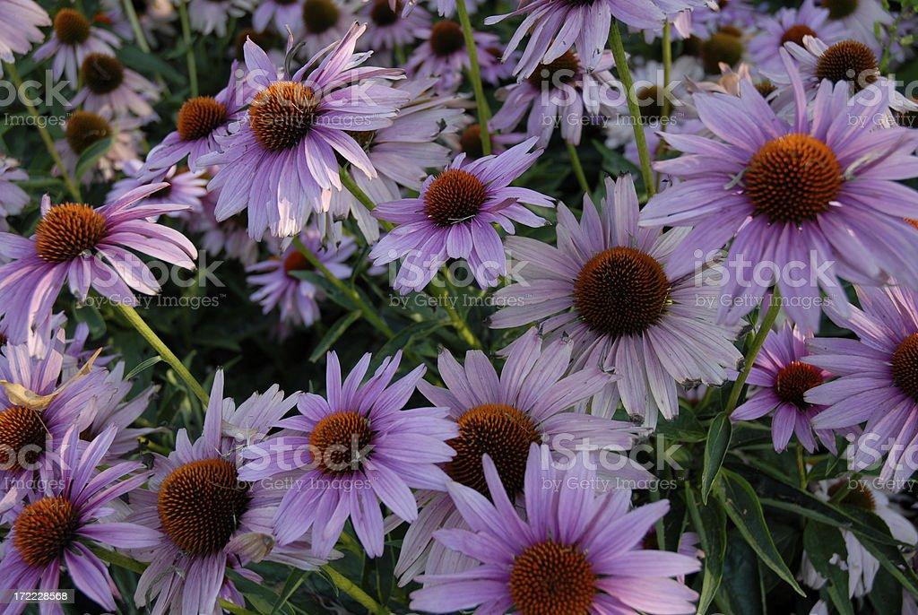 Echinacea Horizontal royalty-free stock photo