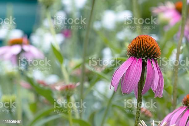 Echinacea is a flower of a medicinal plant that grows in the garden picture id1255065461?b=1&k=6&m=1255065461&s=612x612&h=21s2bphiglx1xsy834cvqly6qeeoeceinndnfirq34o=
