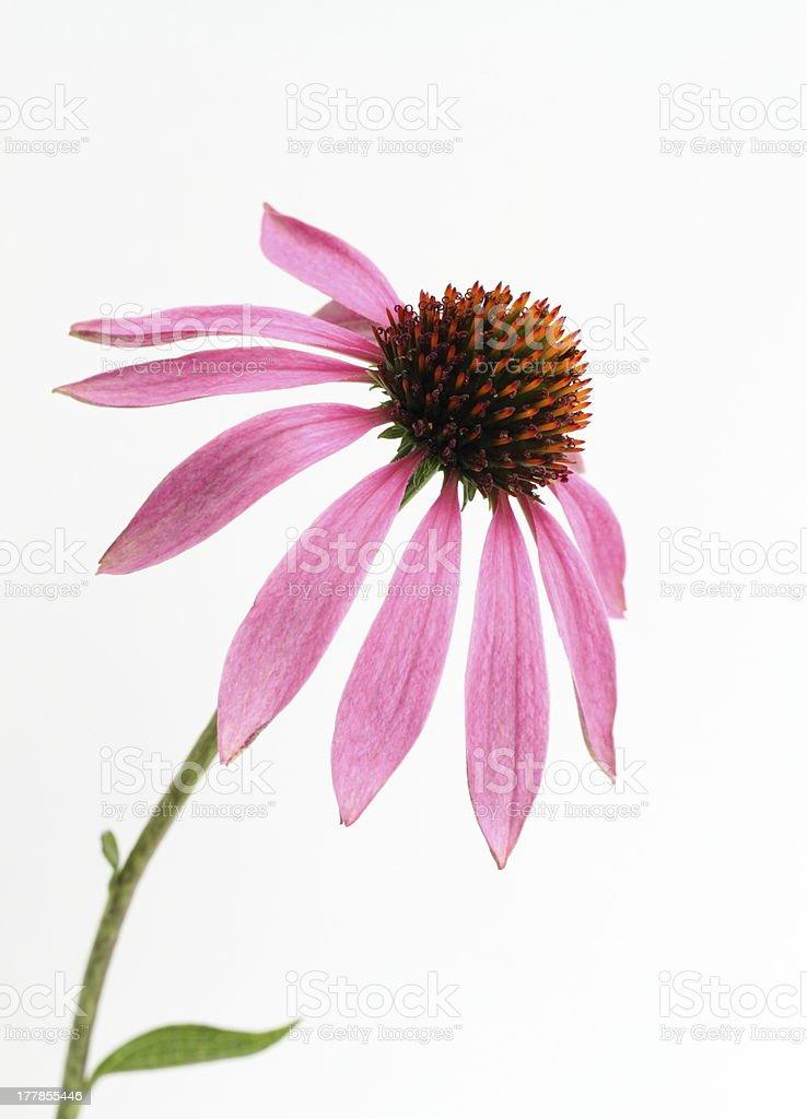 Sonnenhut-Pflanzengattung – Foto