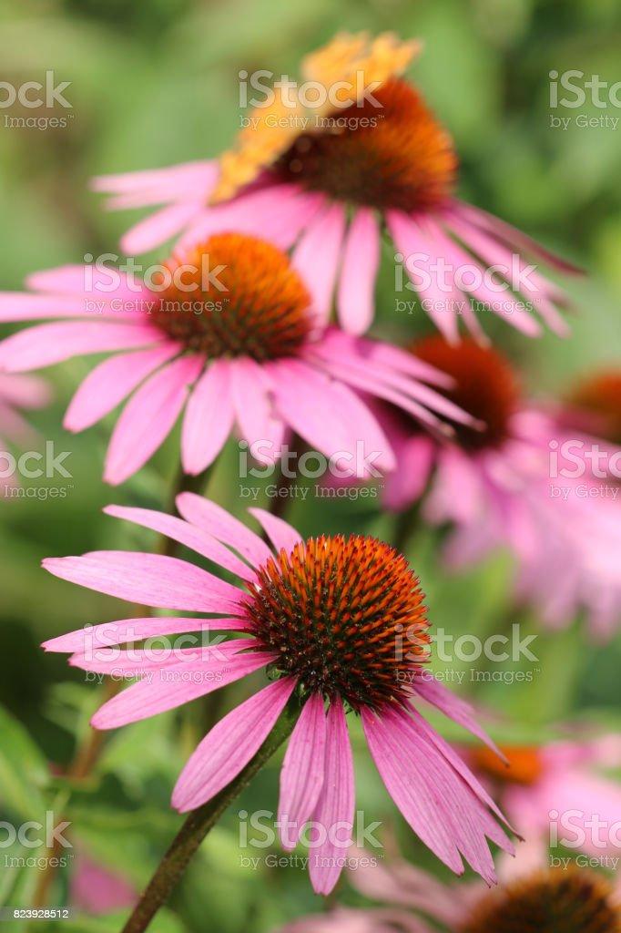 Echinacea stock photo