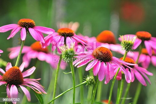 Echinacea is a group of herbaceous flowering plants in the daisy family, Asteraceae. This queen of daisy is often called Coneflowers for its dome-shaped center.