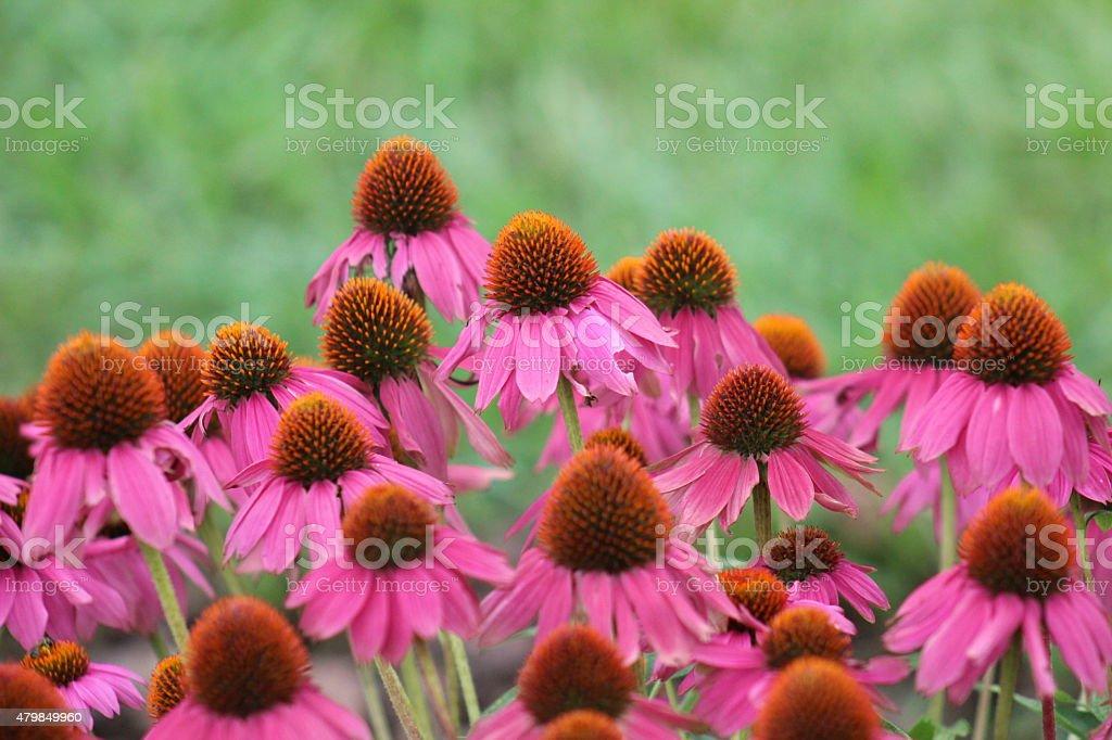 Echinacea - Purple Coneflower stock photo