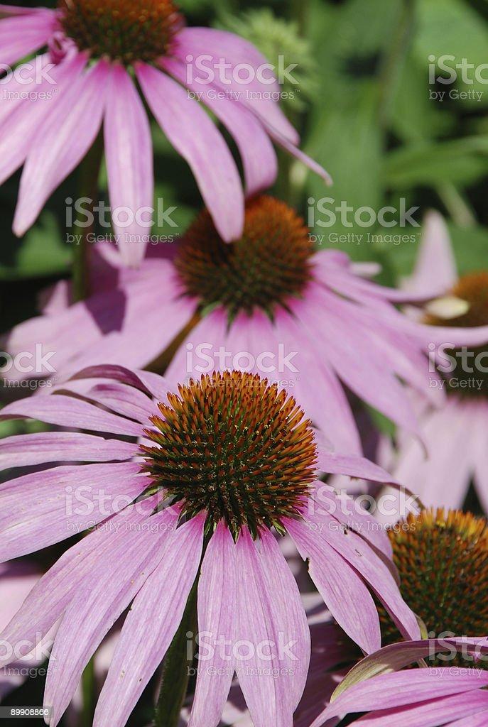 Echinacea purpurea florecer cono de flores foto de stock libre de derechos