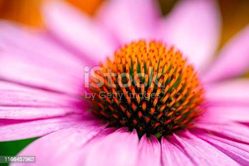Eastern purple coneflower in full bloom close up