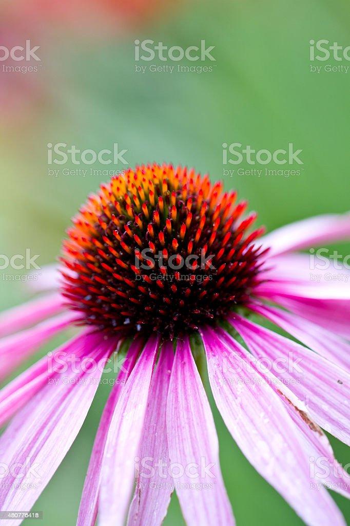 Echinacea purpurea, coneflower stock photo