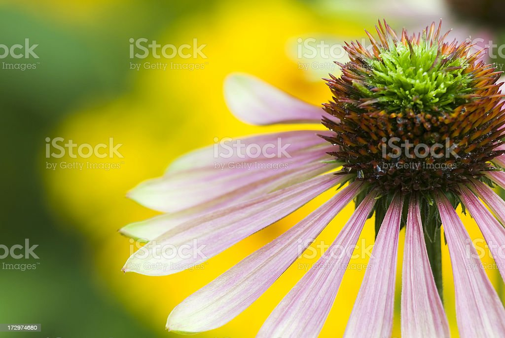 Echinacea purpurea 'Green Envy' - IV royalty-free stock photo