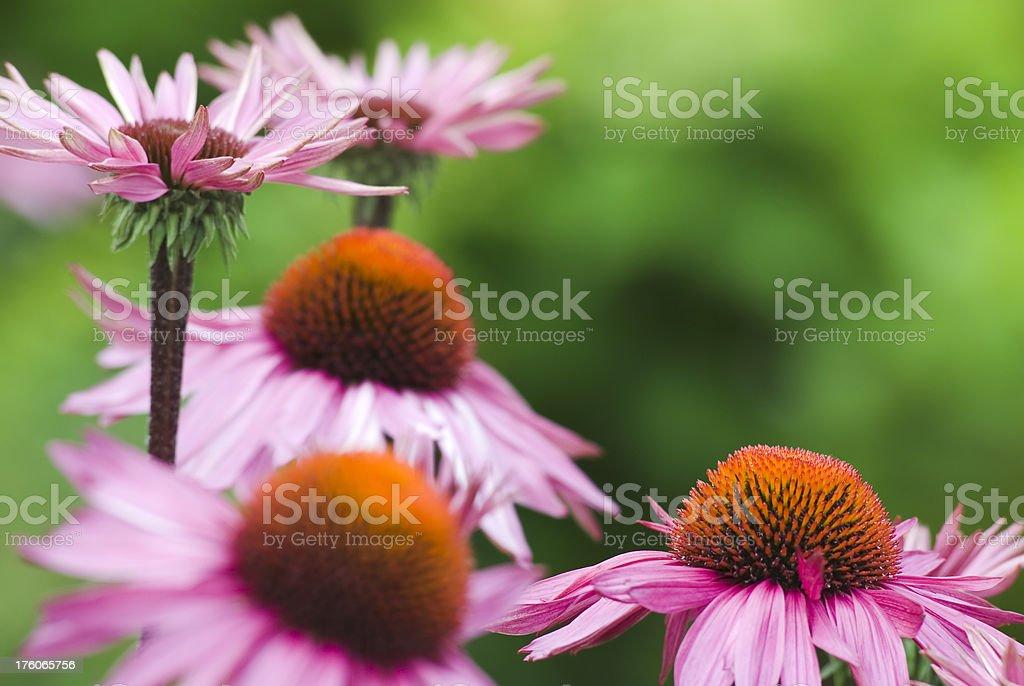 Echinacea purpurea [Harvest Moon] - II royalty-free stock photo