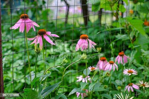 Echinacea Purpurea Maxima perennial flowers growing along the fence in a garden.