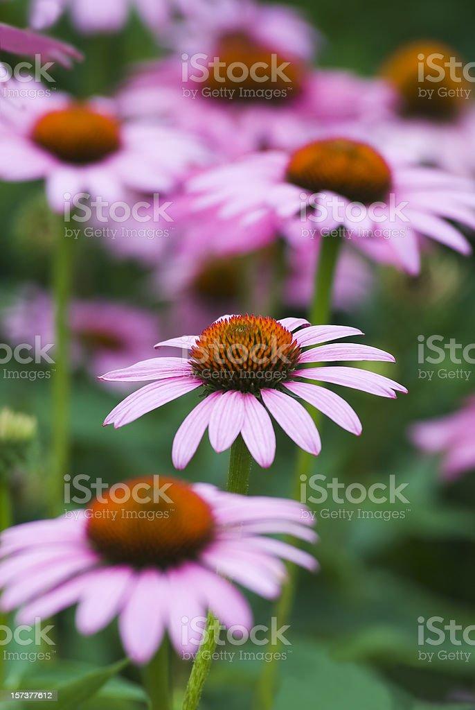 Echinacea purpurea 'Merlot' - VII royalty-free stock photo