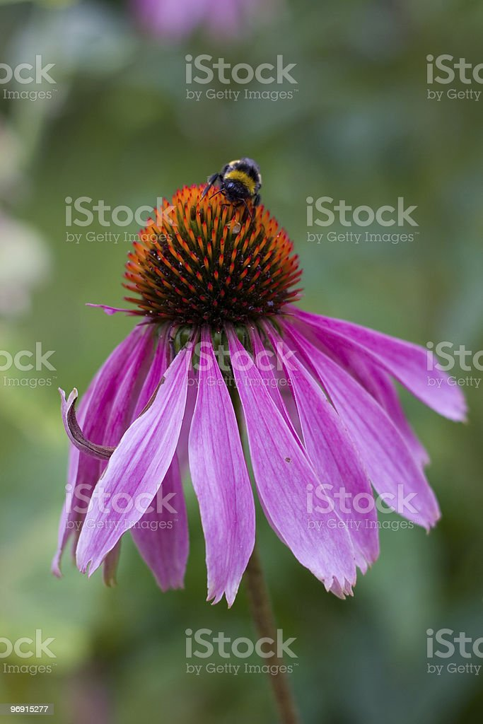 Echinacea purpurea royalty-free stock photo