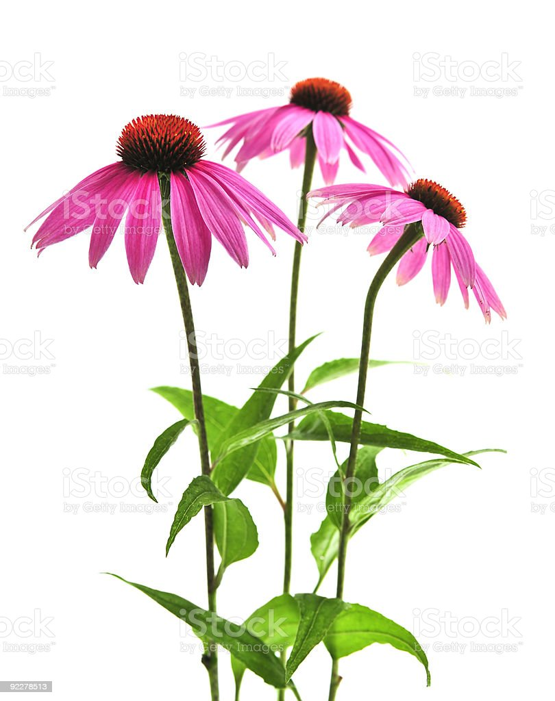 Echinacea purpurea plant stock photo
