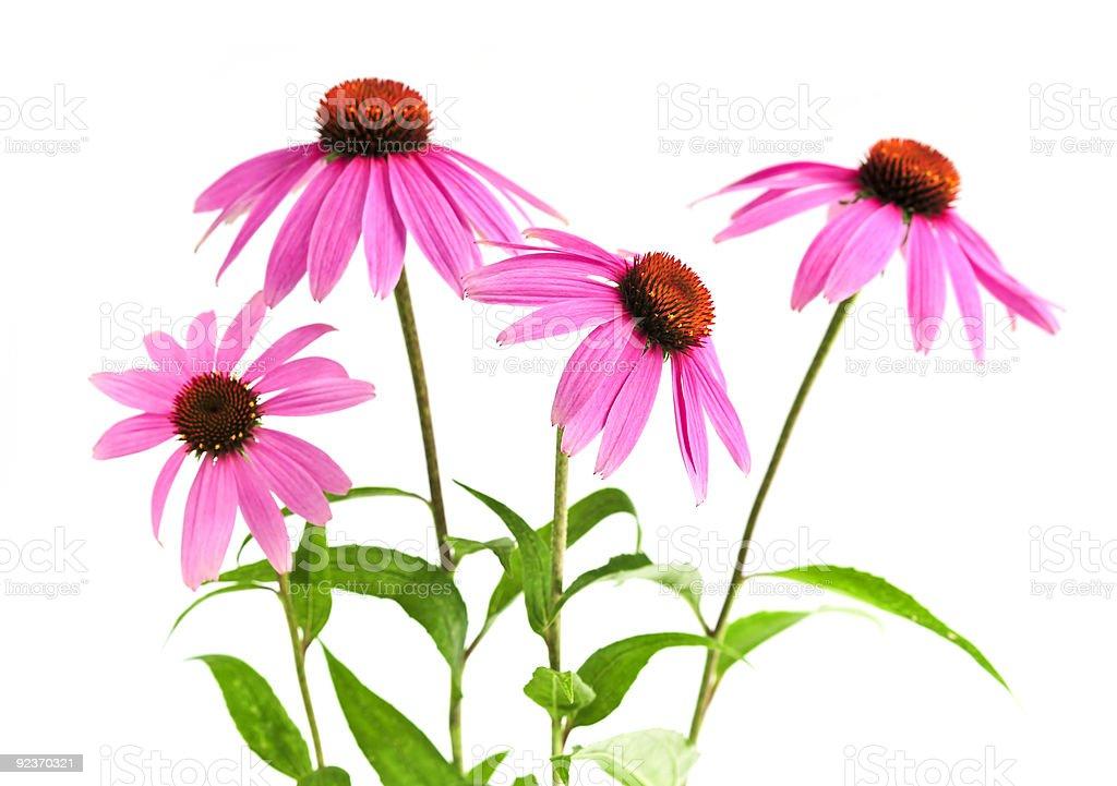 Echinacea purpurea plant royalty-free stock photo