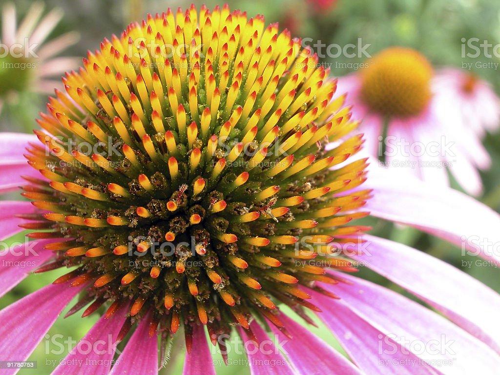 Echinacea purpurea - Purple Cone Flower royalty-free stock photo
