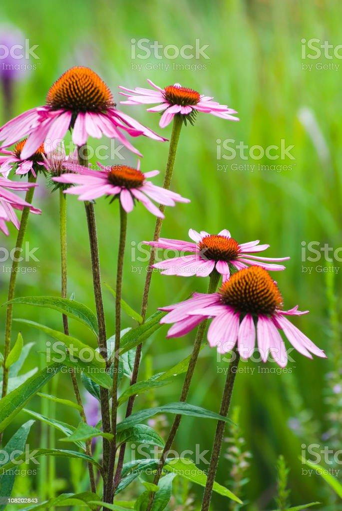 Echinacea purpurea - VI royalty-free stock photo