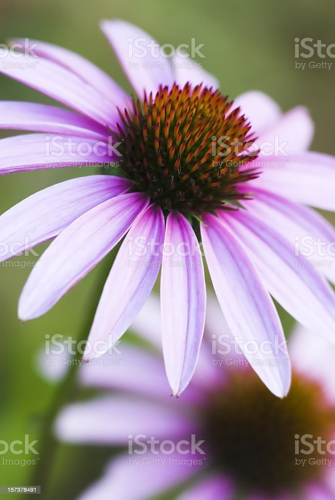Echinacea purpurea - VII royalty-free stock photo