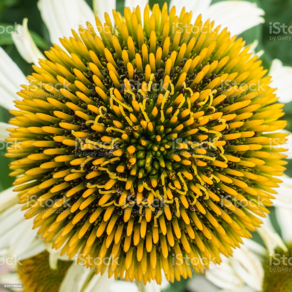 Echinacea Spikes stock photo