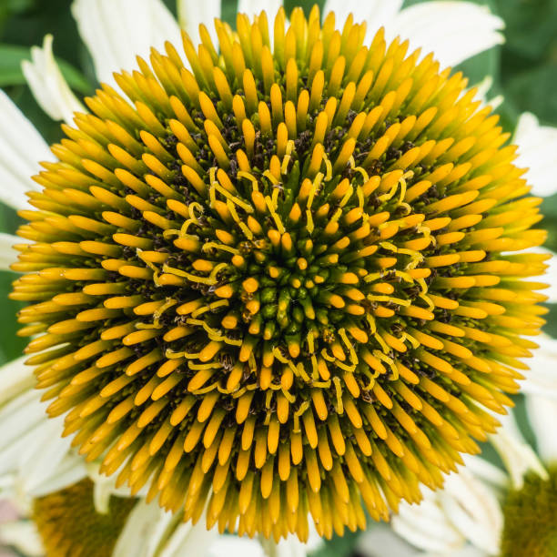 echinacea spikes - stamen stock photos and pictures